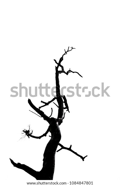 Part of single old and dead tree isolated on white background.Dead branches of a tree