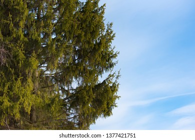 part of the spruce tree. Green branches against a blue sky. Natural photo.