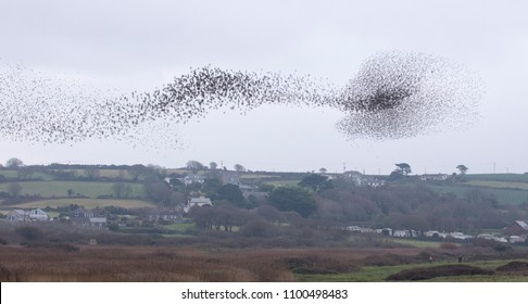 Part of the Starling murmuration at Marazion Marsh RSPB reserve, Cornwall, UK.
