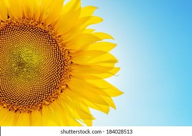 part of sunflower sun against