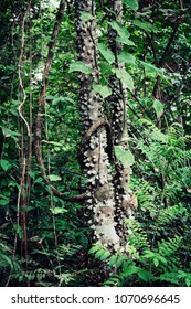 A part of a tropical tree, called Ceiba, in the midst of the jungle. Recorded in Panama.