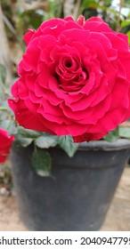 Parte da natureza..uma linda rosa