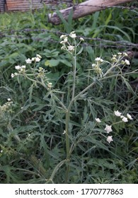 Parthenium hysterophorus is a species of flowering plant in the aster family, Asteraceae. It is native to the American tropics. Common names include Santa-Maria, Santa Maria feverfew, whitetop weed.