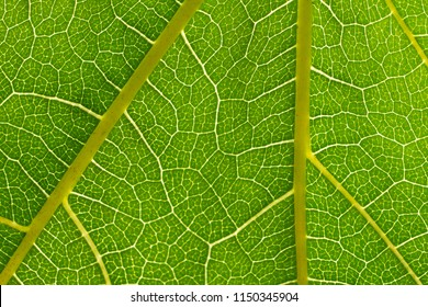 Parthenocissus green leaf detail with visible veins
