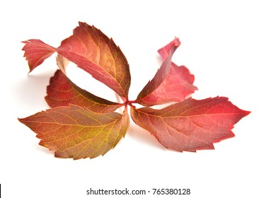 Parthenocissus inserta plant over white background, thicket creeper and  or grape woodbine