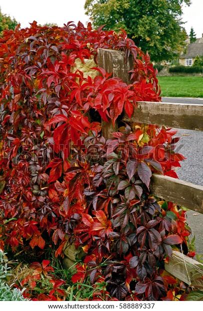 Parthenocissus  quinquefolia Virginia Creeper covering a garden fence
