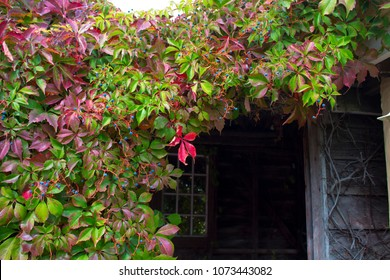 Parthenocissus quinquefolia, Virginia creeper, Victoria creeper, five-leaved ivy, or five-finger, is a species of flowering plant in the grape family, Vitaceae leaves turning to  deep pink in autumn.