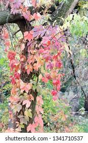 Parthenocissus tricuspidata in the autumn. Virginia creeper leaves in autumn on the tree.