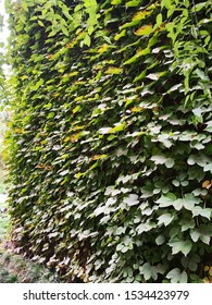 Parthenocissus tricuspidata plant growing on wall, It has the effect of clearing heat, detoxifying and hemostasis