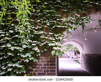 Parthenocissus tricuspidata plant growing on wall by the doorway of an ancient chinese building, It has the effect of clearing heat, detoxifying and hemostasis