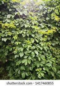 Parthenocissus tricuspidata plant, It has the effect of clearing heat, detoxifying and hemostasis