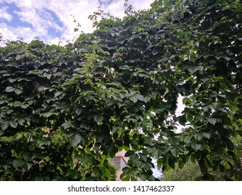 Parthenocissus tricuspidata plant under blue sky with white cloud, It has the effect of clearing heat, detoxifying and hemostasis