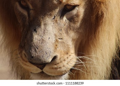 Partial Face Of Old Lion With Scarring