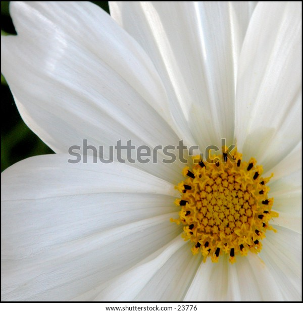 Partial view of a daisy lit from behind