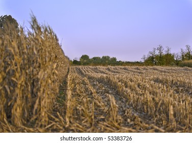 Partially cropped wheat field under a clear sky in the golden hour