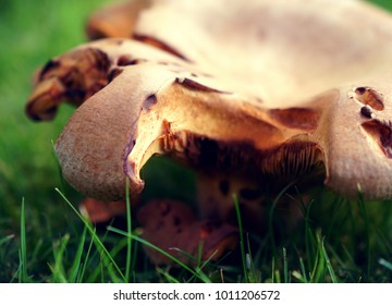 Partially eaten mushroom sitting in the dewy grass