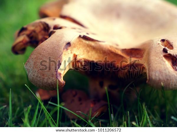 Partially eaten mushroom sitting in the dewy grass