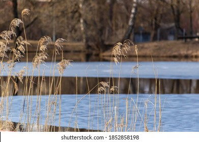 Partially frozen pond in winter with common reeds. White ice and water.