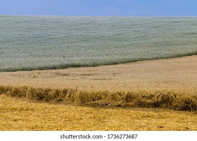 Partially mown yellow field of wheat and green grass