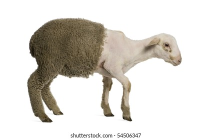 Partially shaved Merino lamb, 4 months old, in front of white background