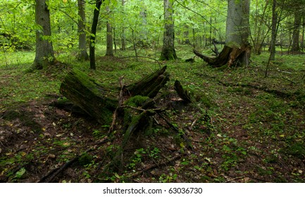 Partly declined stumps in front old spruce trees rain after