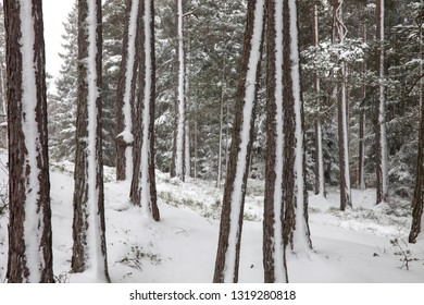 Partly snow covered tree trunks in a forest on a cold and grey winter day.