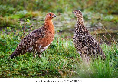 Partridge (Lagopus) male and female in summer plumage. Two ptarmigans in the tundra. The relationship between animals. Wildlife of the Arctic. Nature and birds of Chukotka. Siberia, Far East of Russia