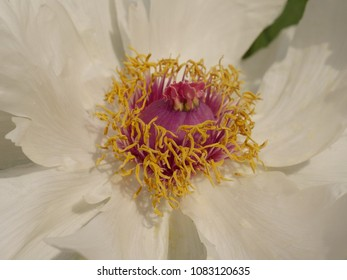 Parts of the blossom of a peony, with cream-white flower, very visible, pollen vessels, pistils, red center of the flower.  Pollen is yellow.