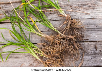 Parts of a daylily bush (young plants) on a wooden background