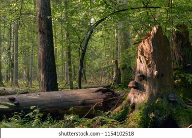 Party declined broken spreuce trees with some polypore fungi, Bialowieza Forest, Poland, Europe
