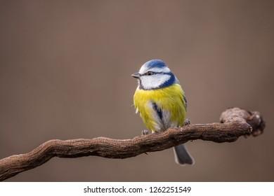 Parus major, Blue tit . Wildlife