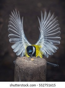 Parus major or common saithe with open wings, standing to eat a piece of hazelnut