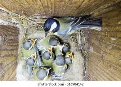 Parus major. The nest of the Great Tit in nature. Russia. Russia, the Ryazan region (Ryazanskaya oblast), the Pronsky District.