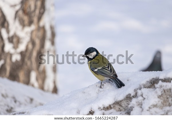 parus-major-tit-sits-snow-600w-166522428