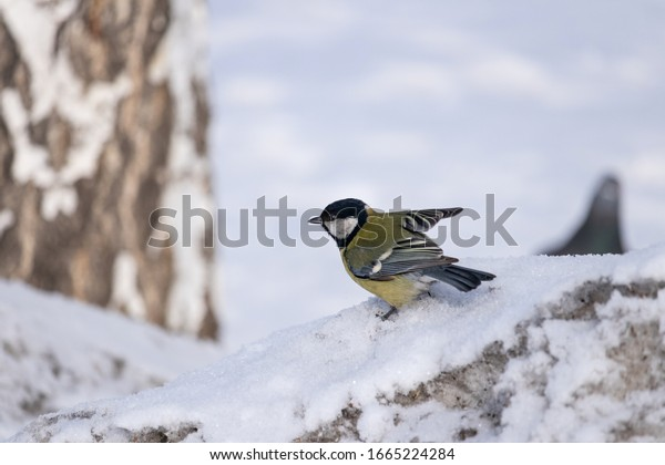 parus-major-tit-sitting-snow-600w-166522
