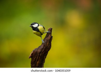Parus major. Wildlife of Finland. Beautiful picture. Karelia. From bird life. Free nature. Scandinavia. European nature. Little bird. Expanded throughout Europe.