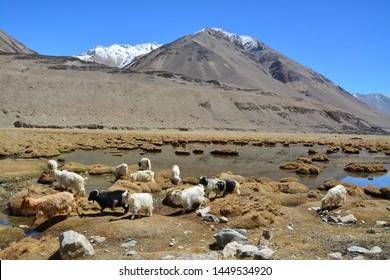 Pashmina goat in the beautiful landscapes, Leh Ladakh, India