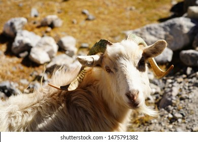 Pashmina goat in the beautiful landscapes, Leh Ladakh, Jammu And Kashmir - Northern INDIA.
