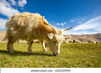 Pashmina Goat grazing - Chummatang - Ladakh India