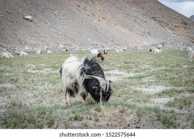 Pashmina goat in Leh Ladakh, Jammu And Kashmir, India.