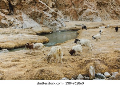 Pashmina goats grazing in the pastures of Ladakh, India. They are raised for ultra-fine cashmere wool known as pashmina.