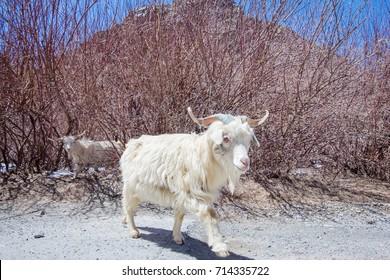 Pashmina goats with snowy mountain. JAMMU and KASHMIR, INDIA.