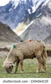 A Pashmina sheep grazing on the slopes of Sonmarg, Kashmir, India.