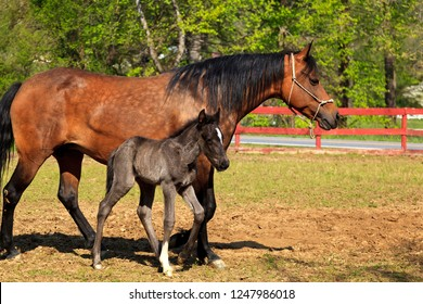 Paso Fino Mare Horse and Cute Colt Standing Together