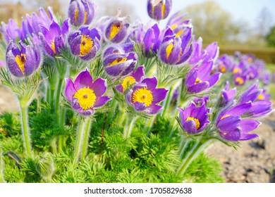 Pasque Flower, beautiful , spring flower (Pulsatilla vulgaris) - selective focus
