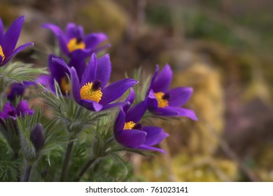 A pasque flower bunch in a garden with stones overwhelmed with moss in the blurry background