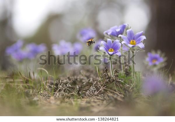 Pasque flower, Pulsatilla vulgaris, Pulsatilla patens