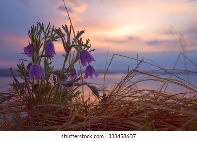 Pasque flowers in warm sunset light