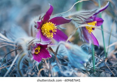 pasqueflower, spring blooming flower, colorful plant macro, dream grass, violet blue first spring flowers, outdoor.