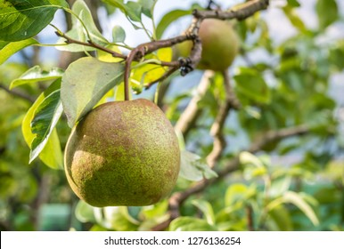 Passacrassana Pear. Selected in France around the middle of the nineteenth century. It has been grown in Emilia Romagna since the '50s, where its characteristics have been enhanced.
